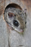 Flying Squirrel. Southern Flying Squirrel Glaucomys volans peeking out of a birdhouse in North Carolina royalty free stock image