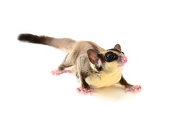 Flying squirrel Stock Image