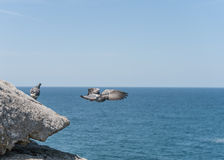 Flying and Standing Doves on the edge of rock. Close to Ocean. Sydney, Australia Royalty Free Stock Photos
