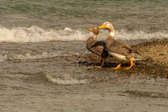 Flying Steamer Duck Royalty Free Stock Images