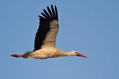 Flying stork. Bird against a blue sky Royalty Free Stock Photos