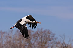 Flying stork. European stork flying to his nest with a branch in his beak Royalty Free Stock Image