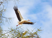 Flying stork. On blue sky background Royalty Free Stock Image