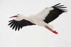 Free Flying Stork Royalty Free Stock Photography - 17889207