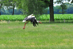 Flying stork. In lower saxonie germny Royalty Free Stock Photography