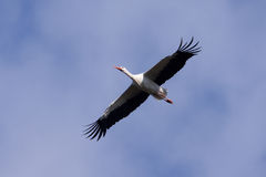 A flying stork. With a blue sky in the background Royalty Free Stock Image