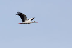 A flying stork Stock Images