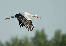 Flying Stork Stock Photography