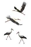 Flying Stork Stock Images