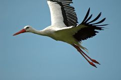 Flying stork. Flight of the stork Royalty Free Stock Photography