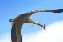 Flying stork. With a branch for his nest stock photos