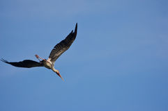 Flying stork. A flying stork going back to it's nest with clearest blue sky royalty free stock photo