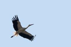 Flying stork Royalty Free Stock Image
