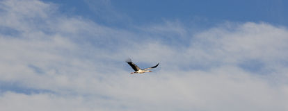 Flying stork Stock Image