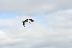 Flying stork. Against cloudly sky Stock Image
