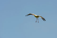 Flying stork Royalty Free Stock Photo