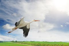 Flying stork on background of green spring field. And blue sky Stock Image