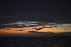 Flying stork on a background of a sunset in the Indian Ocean. Stock Photos