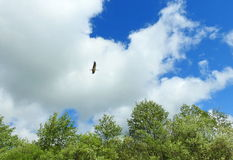 Flying stork bird, Lithuania Stock Photography