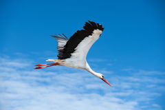 Flying stork. Stork flying in the blue sky Royalty Free Stock Photos