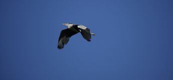 Flying Heron Stock Image