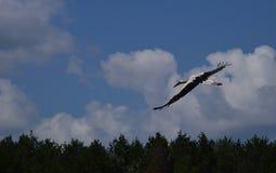 Flying stork. In blue sky Stock Image