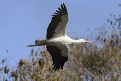Flying Stork. With blue Sky, Germany Stock Images