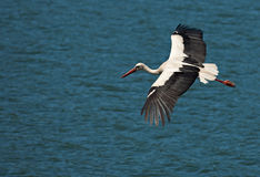 Flying stork on blue water. Flying white european stork on a blue water surface Royalty Free Stock Image