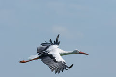 Flying Stork closeup Royalty Free Stock Photo