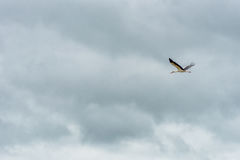 Flying Stork. Cloudy Blue Sky. Royalty Free Stock Images