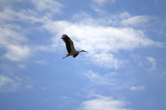 Flying stork. Figure silhouetted against summer blue sky.July 11 th,2014.Bulgaria Stock Photos