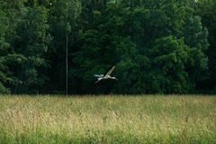 Flying stork in the fores. Flying white stork in the forest looking for food in the grass Stock Photos