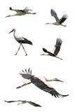 Flying stork Royalty Free Stock Photo