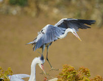 Flying stork  in the lucus Royalty Free Stock Images