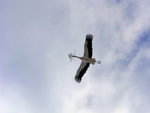 Flying stork with nesting material in its beak Royalty Free Stock Image