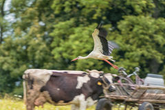 Flying Stork over the Cow and Horse. Blurry because of Panning. Royalty Free Stock Photos