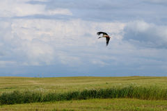 Flying stork. Stork is flying over the field during the harvest, Republic of Belarus Stock Images