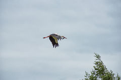 Flying Stork over the Forest. Cloudy Blue Sky. Royalty Free Stock Images