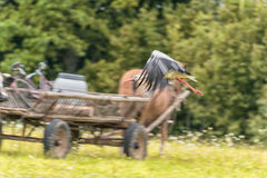 Flying Stork over the grass. Blurry Horse in bacground because of Panning. Royalty Free Stock Photo