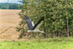 Flying Stork over the the grass. Tree in Background Royalty Free Stock Photography
