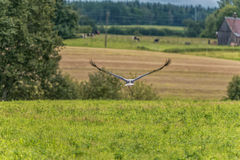 Flying Stork over the the grass. Tree in Background Royalty Free Stock Photo