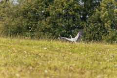 Flying Stork over the the grass. Tree in Background Royalty Free Stock Image