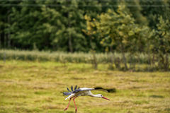 Flying Stork over the the grass. Tree in Background. Blurry Wings. Stock Images