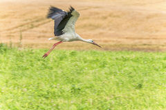 Flying Stork over the the grass. Wheat field in Background Royalty Free Stock Image