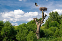 Flying stork over nest Stock Images