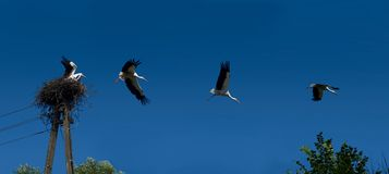 Flying stork set Royalty Free Stock Photo