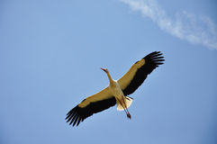 A flying stork Royalty Free Stock Photos