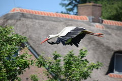 Flying stork in sky Royalty Free Stock Image