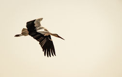 Flying stork with spread wings. A white stork flying with spread wings during sunset Stock Image