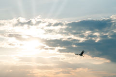 Flying stork at sunset. Against dark clouds Stock Image